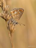 Bruin blauwtje/Aricia agestis