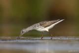 Groenpootruiter/Common greenshank