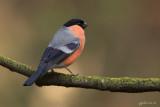 Goudvink/Bullfinch