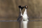 Fuut/Great crested crebe
