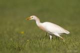 Koereiger/Western cattle egret