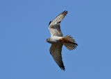 Red-footed Falcon (Falco vespertinus) - aftonfalk
