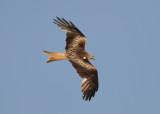 Red Kite (Milvus milvus) -röd glada