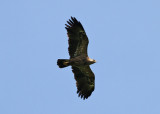 Lesser Spotted Eagle (Lophaetus pomarinus) - mindre skrikörn