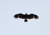 Greater Spotted Eagle (Clanga clanga) - Större Skrikörn
