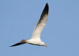 Lesser Black-backed Gull - Baltic Gull (Larus f. fuscus) - Silltrut