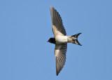 Barn Swallow (Hirundo rustica) - ladusvala