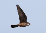 Eleonora's Falcon (Falco eleonorae) - eleonorafalk