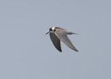 Black Tern (Chlidonias nigra) - svarttärna