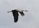Common Crane (Grus grus) - trana