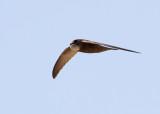 Pallid Swift (Apus pallidus) - blek tornseglare