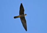 Eurasian Hobby (Falco subbuteo ) - lärkfalk