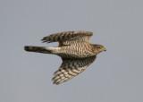 Eurasian Sparrowhawk (Accipiter nisus) - sparvhök