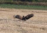 White-tailed Eagle (Haliaeetus albicilla) - havsörn
