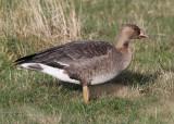 Greater White-fronted Goose (Anser albifrons) - bläsgås