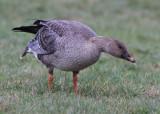 Tundra Bean Goose (Anser fabalis rossicus) - tundrasädgås