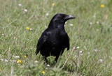 Carrion Crow (Corvus corone) - svartkråka
