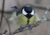 Great Tit (Parus major) - talgoxe