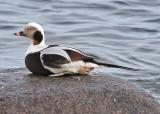 Long-tailed Duck (Clangula hyemalis) - alfågel