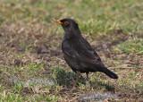 Eurasian Blackbird (Turdus merula) - koltrast