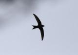 Pacific Swift (Apus pacificus) - orientseglare