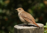 Thrush Nightingale (Luscina luscinia) - näktergal