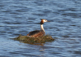 Great Crested Grebe (Podiceps cristatus) - skäggdopping