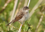 Common Whitethroat (Sylvia communis) - törnsångare