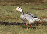Bar-headed Goose (Anser indicus) - stripgås