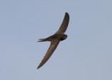 Common Swift (Apus apus) - tornseglare