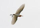 Eastern Cattle Egret (Bubulcus coromandus)