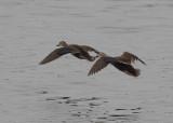 Eastern Spot-billed Duck (Anas zonorhyncha) - Kinesisk fläcknäbband
