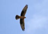 Montagu's Harrier (Circus pygargus) - ängshök