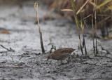 Spotted Crake (Porzana porzana) - småfläckig sumphöna