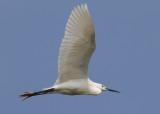 Little Egret (Egretta garzetta) - silkeshäger