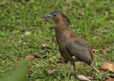 Malayan Night Heron (Gorsachius melanolophus)