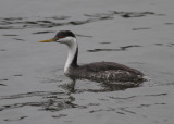 Western Grebe (Aechmophorus occidentalis) - mörk svandopping