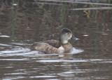 Ring-necked Duck (Aythya collaris) - Ringand