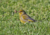 European Greenfinch (Chloris chloris) - Grönfink