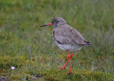 Redshank (Tringa totanus) - Rödbena