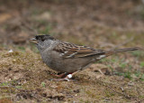 Golden-crowned Sparrow (Zonothrichia atricapilla) - gulkronad sparv