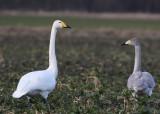 Whooper Swan (Cygnus cygnus) - sångsvan