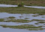 Marsh Sandpiper (Tringa stagnatilis) - dammsnäppa