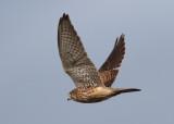Kestrel (Falco tinnunculus) - tornfalk