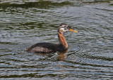 Red-necked Grebe (Podiceps grisegena) - gråhakedopping