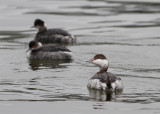 Slavonian Grebe (Podiceps auritus) - svarthakedopping and Eared Grebe in the background