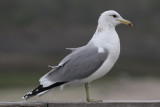 California Gull (Larus californicus) - prärietrut