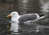 Western Gull (Larus occidentalis) - västtrut