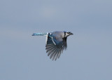 Blue Jay (Cyanocitta cristata) - blåskata