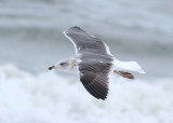 Lesser Black-backed Gull - (Larus fuscus) - Silltrut
